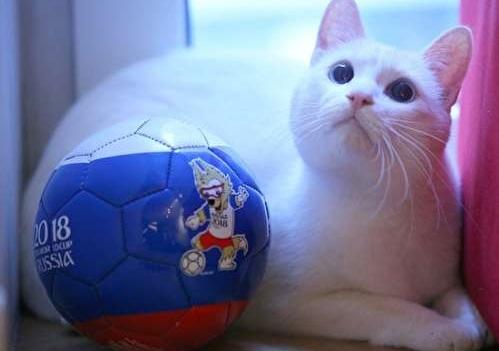 گربه ای به نام آشیل که جام جهانی 2018 را پیش بینی می کند